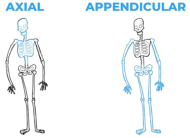 Axial and Appendicular Bones